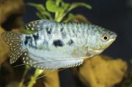 Marmorierter-Fadenfisch