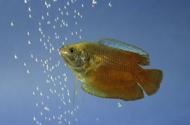 Roter-Zwergfadenfisch